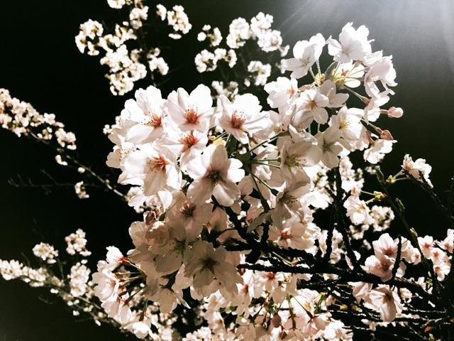 夜桜を見に行って来ました♪